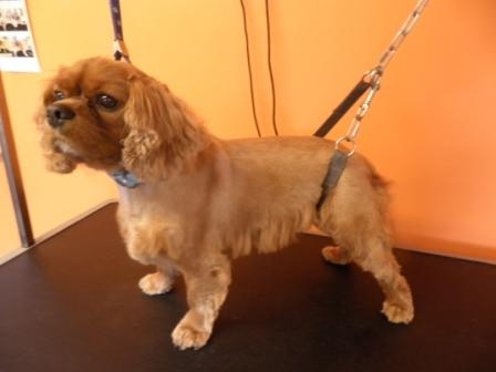 Cavalier King Charles Spaniel after grooming