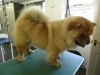 Chow Chow after grooming