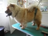 Chow Chow before grooming