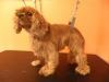Cavalier King Charles Spaniel before grooming
