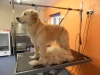Golden Retriever whilst being groomed